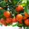 第六屆廣西梧州(岑溪)砂糖桔節