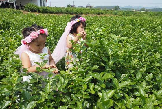 2016年(中國)橫縣茉莉花文化節
