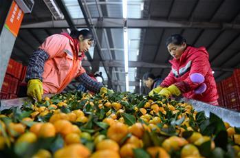 广西富川柑橘丰收