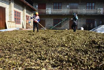 廣西蒼梧:茶産業助力脫貧攻堅