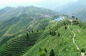 淩雲--萬畝茶園