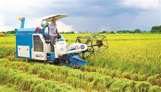 靈山縣早稻收割作業開鐮