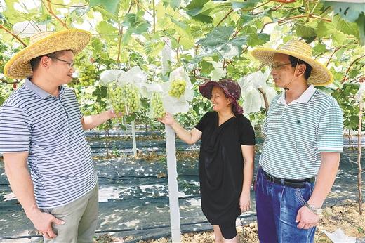 """南寧市西鄉塘區""""美麗南方""""百畝葡萄成熟"""