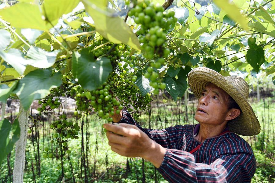 廣西都安:産業發展助脫貧