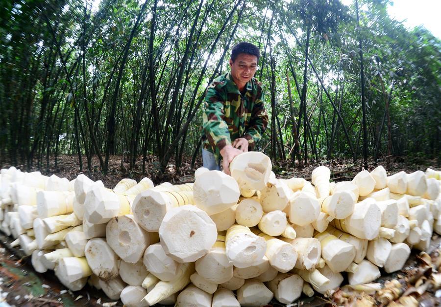 廣西柳州:雨水充沛 小甜竹迎來豐收季
