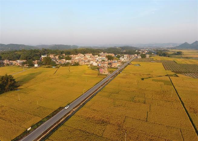 廣西上林:田園豐收色