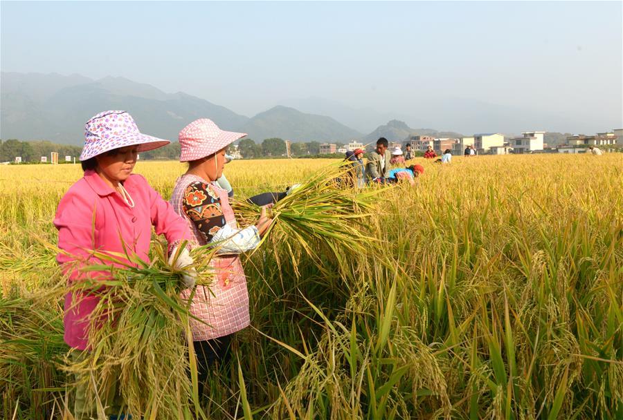 """廣西:""""超級稻+再生稻""""平均畝産突破1500公斤"""