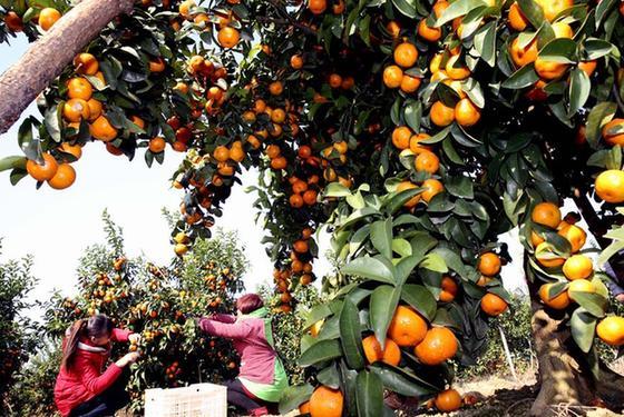 廣西永福:沙糖桔豐收上市