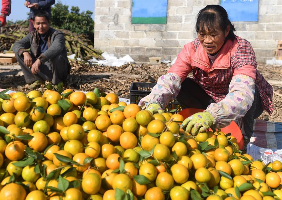 廣西武鳴:喜收柑橘
