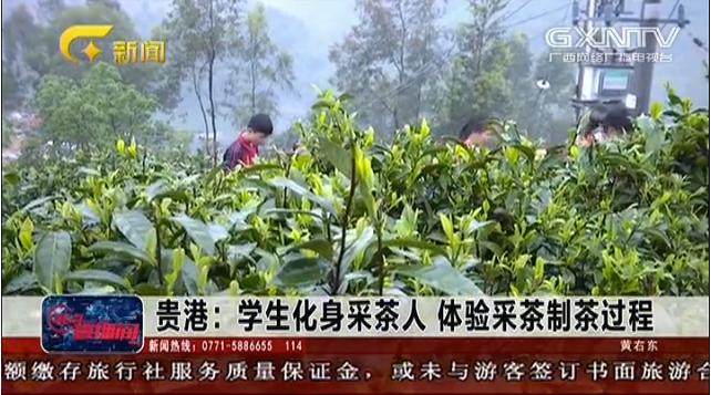 貴港:學生化身採茶人 體驗採茶制茶過程