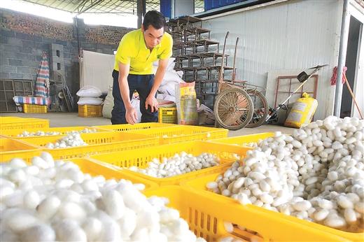 羅城縣第一批春繭開始上市價格可觀