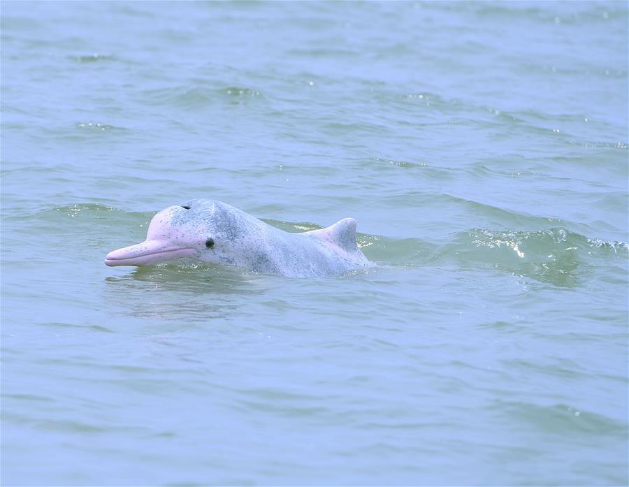 海洋萌宝——中华白海豚