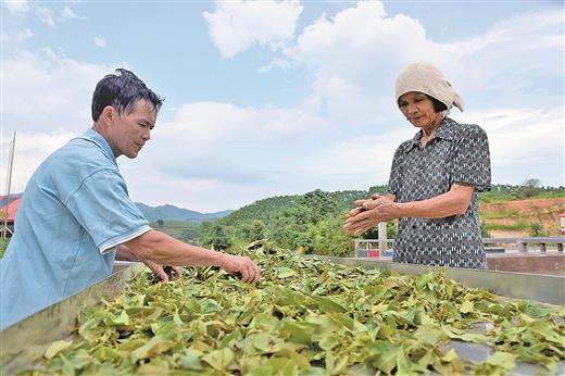 上思縣大力發展特色農業