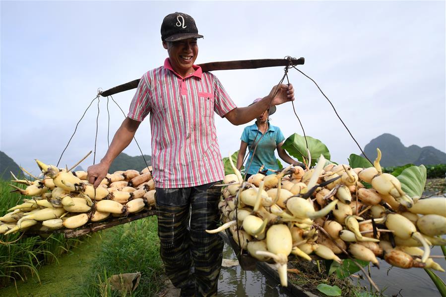 广西柳州:万亩荷塘迎丰收