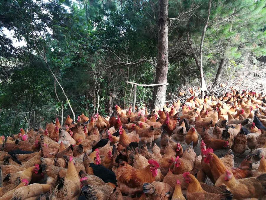 橫縣:土雞養殖助民致富 林下養雞生態環境好
