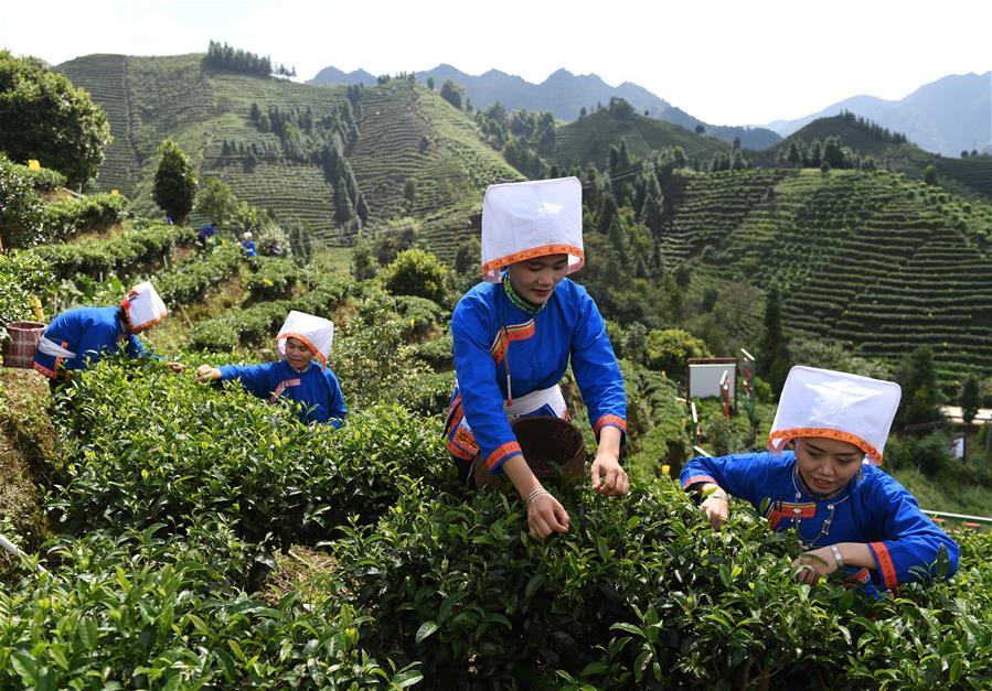 秋茶飘香大瑶山