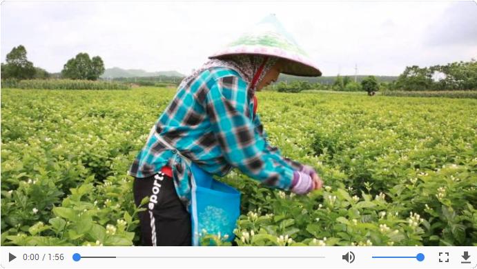 """""""中国茉莉之乡""""散发丰收的香味"""