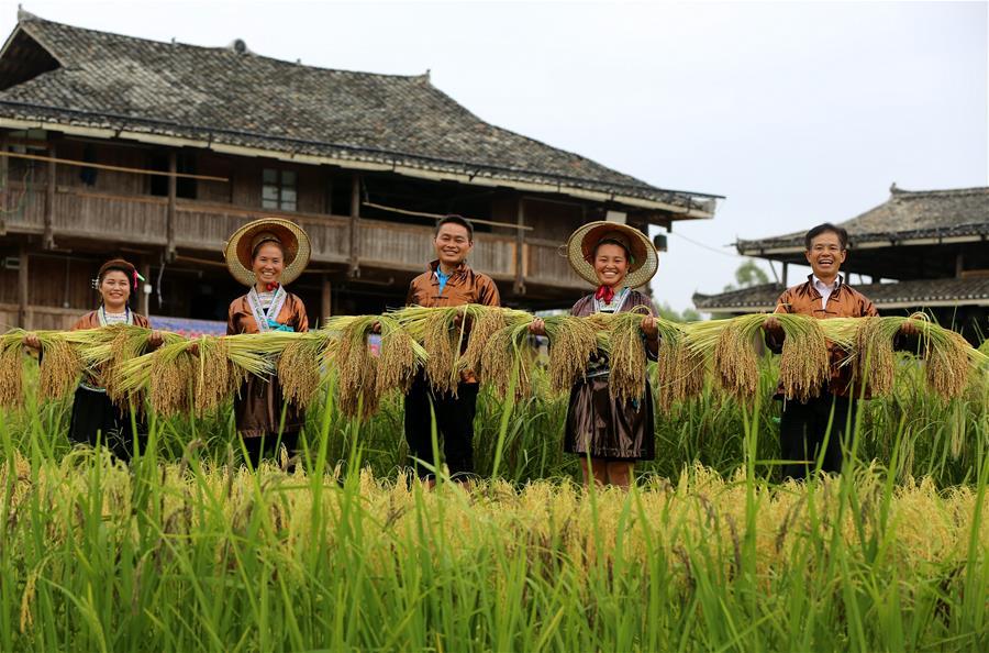 廣西融水:黑糯豐收助農增收