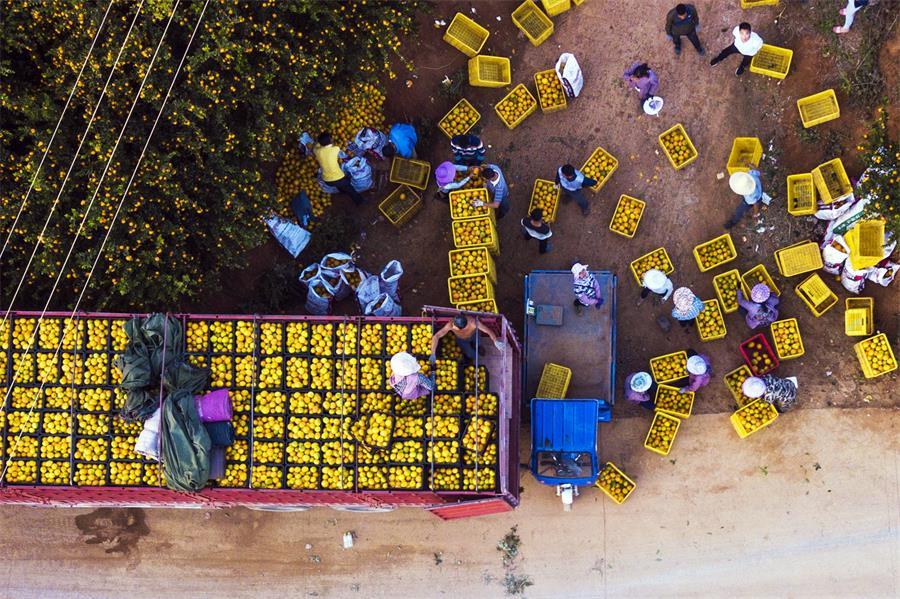 廣西富川:臍橙飄香富農家