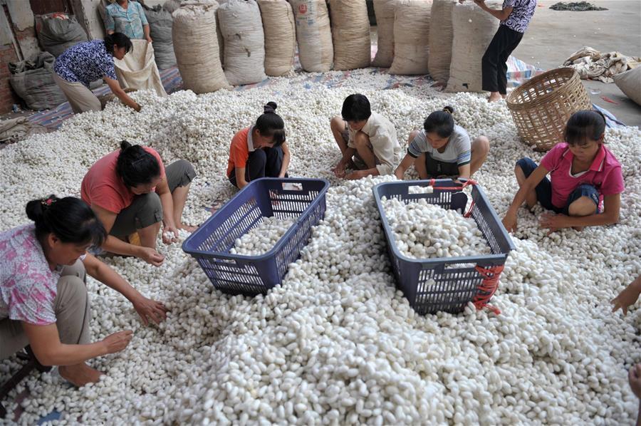 數説廣西:廣西蠶繭産量佔全國48%