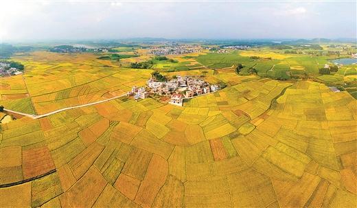 橫縣萬畝稻田喜迎豐收