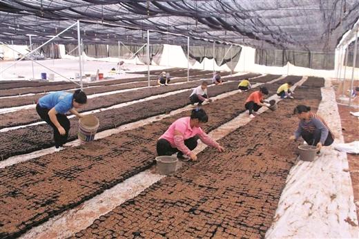 藤縣引導貧困戶因地制宜種植經濟作物增收