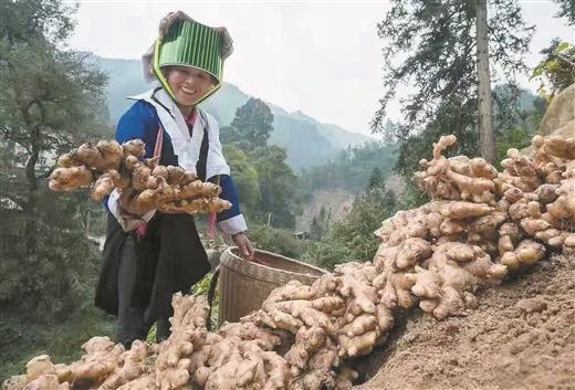 平桂區土瑤群眾種植大肉姜喜獲豐收