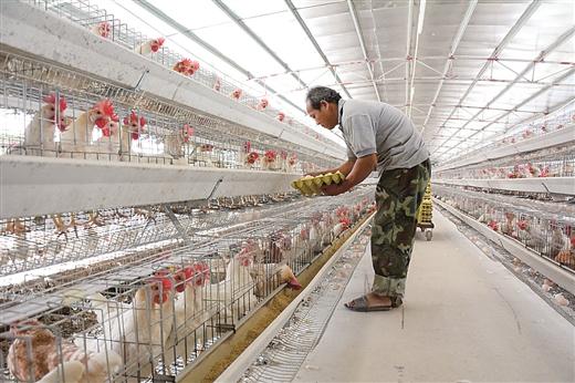 蒼梧縣大力推廣生態養雞助農增收