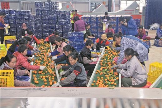 藤縣8.6萬畝砂糖橘迎來收獲季
