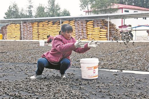蒙山縣羽生谷休閒農業核心示范區黑木耳喜獲豐收