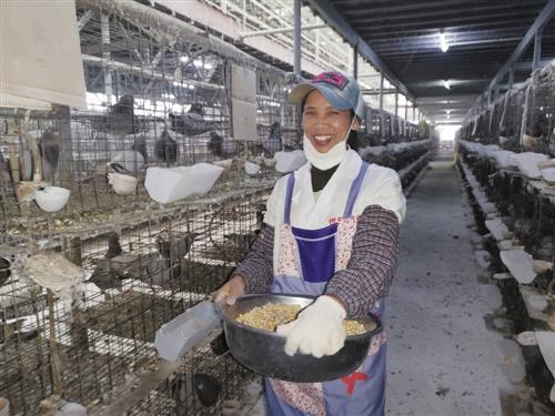肉鴿養殖有效益 脫貧産業見收益