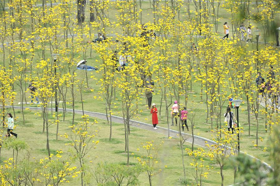 廣西南寧:黃花風鈴木迎春綻放