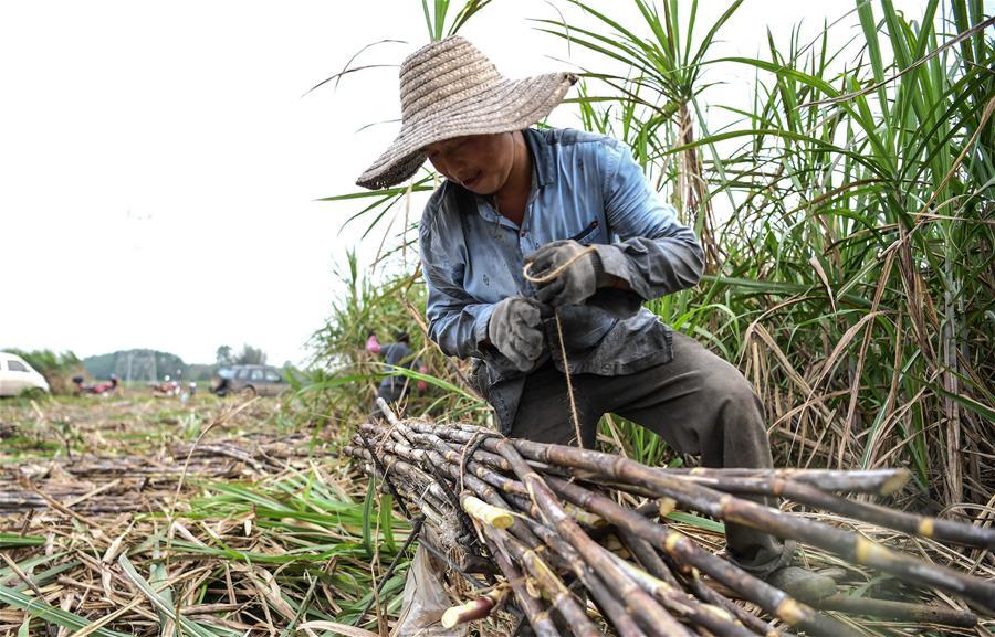 欽州:搶收甘蔗備春種