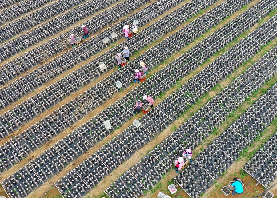 廣西富川:集體經濟助增收