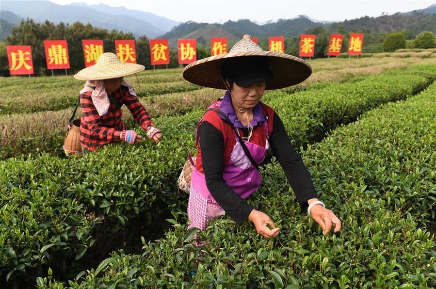 廣西昭平:粵桂協作發展産業助脫貧