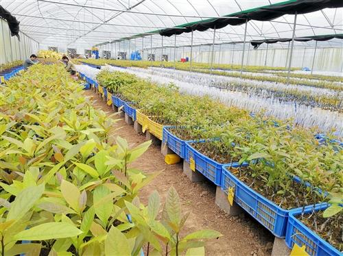 邕寧區蒲廟鎮聯團村種植牛油果開辟增收新渠道