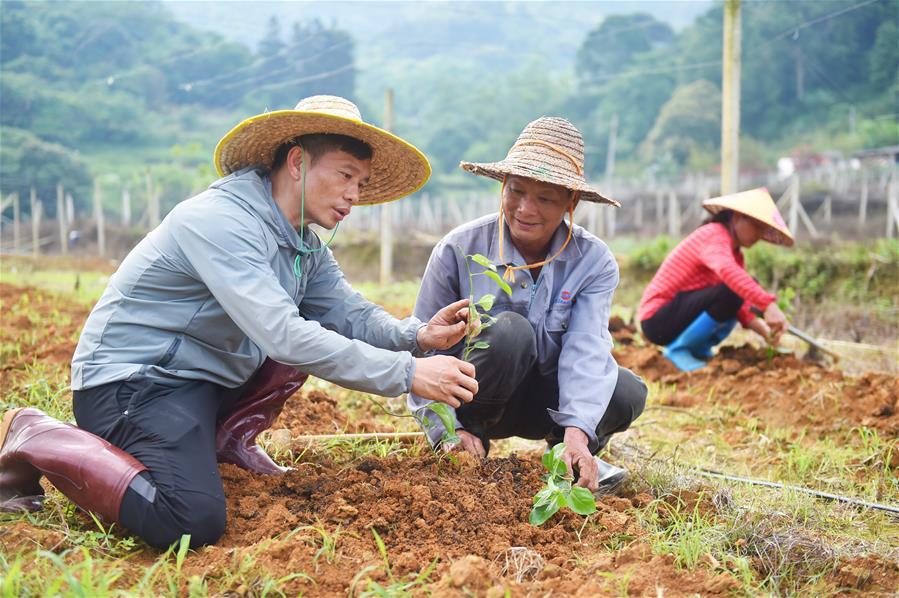廣西龍州:百香果種植助農增收