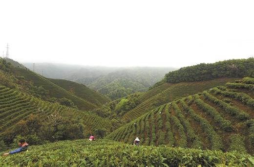 昭平縣茶葉産業保持良好發展態勢
