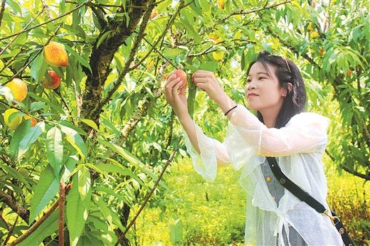 採摘水果、體驗農事成市民休閒娛樂新選擇