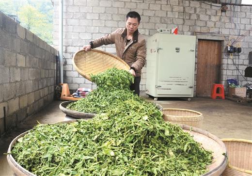 平桂區鵝塘鎮發展茶葉生産促進群眾增收