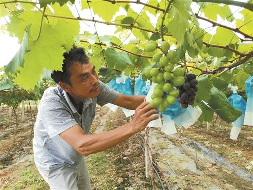 梧州:農民流轉土地發展葡萄産業