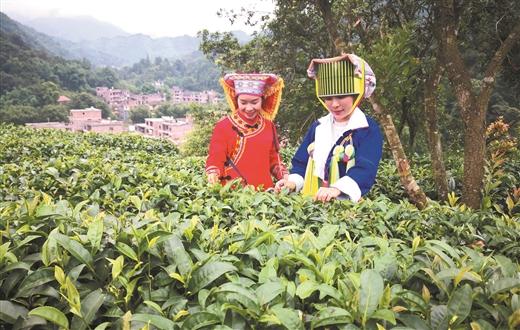 昭平縣走馬鎮西坪村積極發展茶葉種植