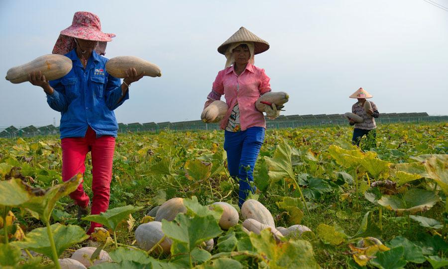 桂平:村民摘瓜促增收