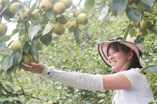 桂花梨成為岑溪脫貧産業之一