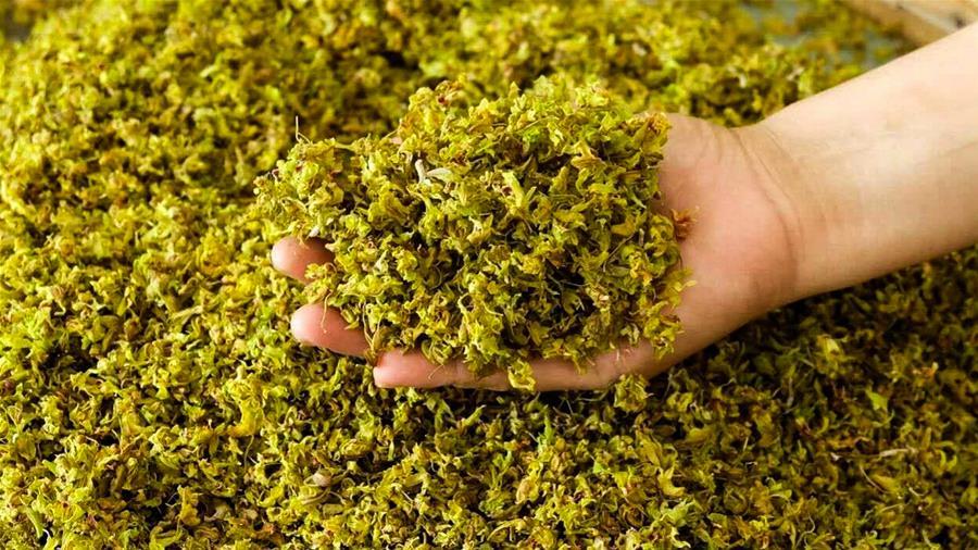 廣西西林:林下種植鐵皮石斛助脫貧