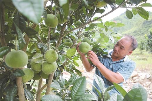 淩雲縣邏樓鎮磨村大力發展橘紅産業