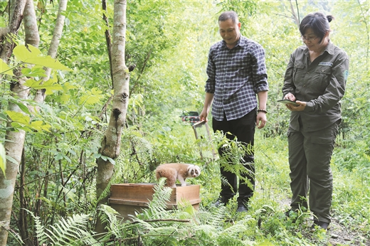 弄崗國家級自然保護區工作人員放生瀕危野生動物蜂猴