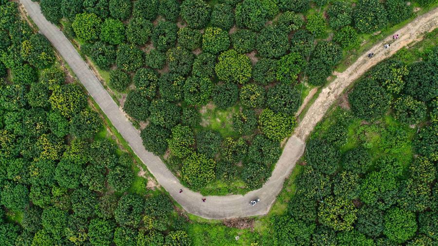 廣西欽州:荔枝種植 助力脫貧
