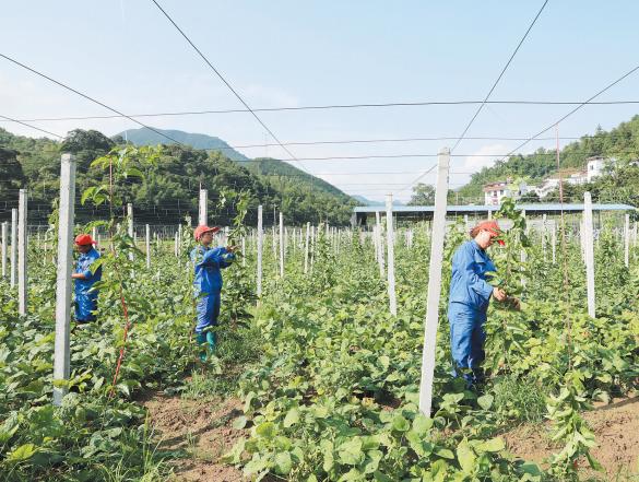天峨開源農場吸納多名貧困群眾就業