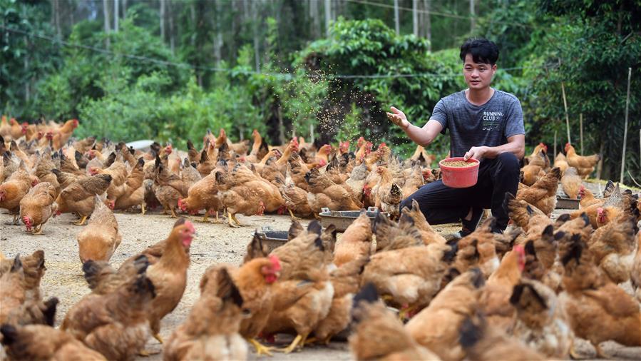 林下養雞助脫貧